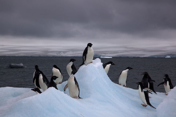 Photo: Adelie penguins in Antarctica. Credit: Wikimedia Commons.